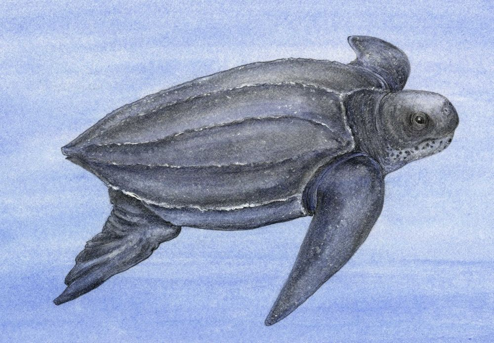 leatherback sea turtle animals at risk from climate change