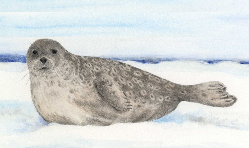 Ringed Seal - Animals At Risk from Climate Change
