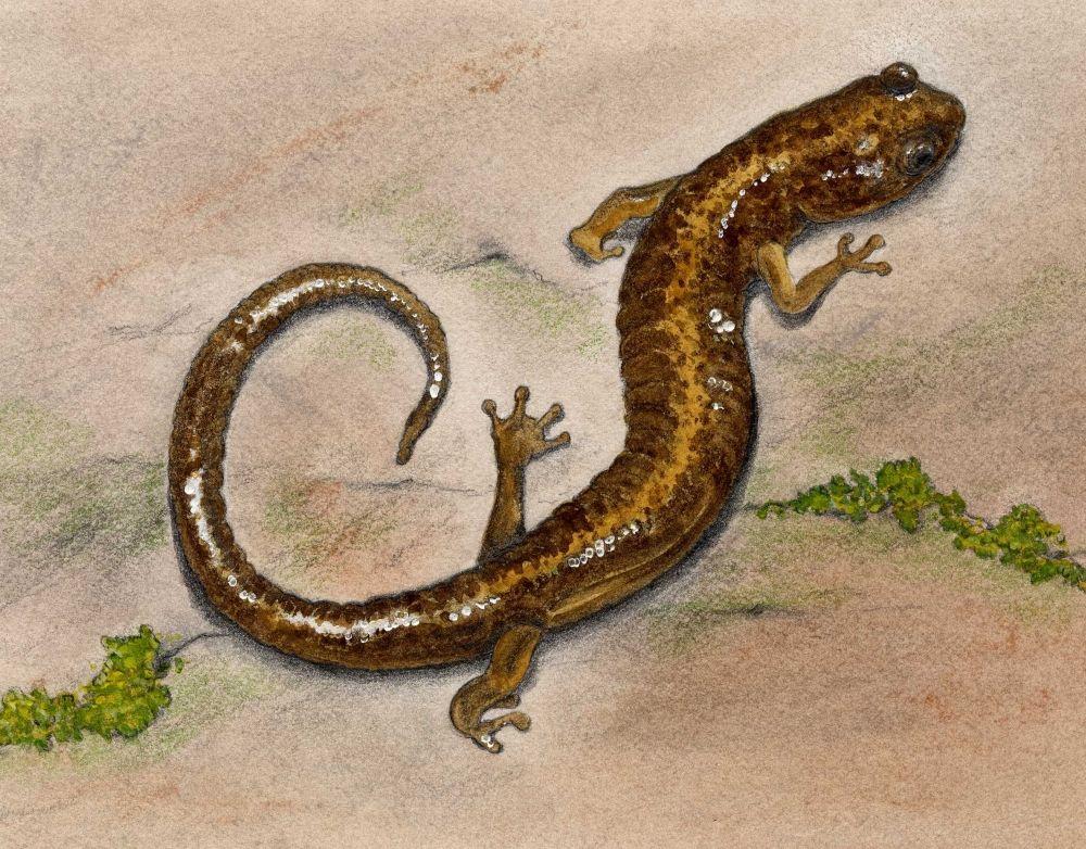 Shenandoah Salamander - Animals At Risk from Climate Change